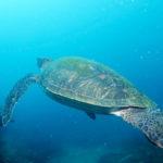 沖の島アオウミガメ