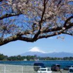大瀬崎の桜